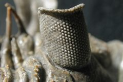"Erbernochile erbeni eye detail, Large compound eye with ""eye-shade"". By Moussa Direct Ltd, via <a href=""https://commons.wikimedia.org/wiki/File:Erbenochile_eye.JPG"">Wikimedia Commons.</a>"