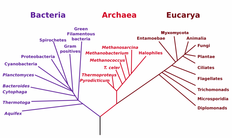 A phylogenetic tree of life, from Wikipedia