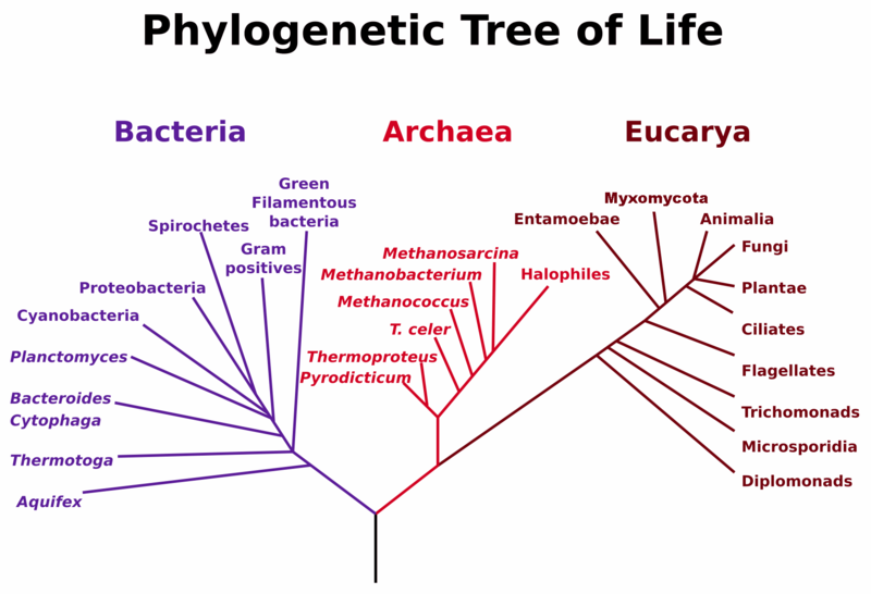 Phylogenetic tree By MPF [Public domain], via Wikimedia Commons