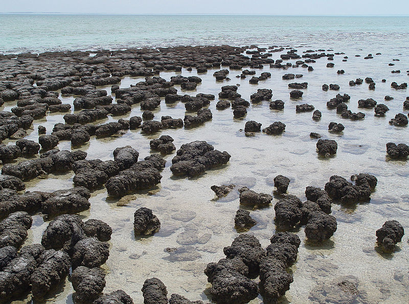 Living stromatolites in Shark Bay, Australia, by Paul Harrison via Wikimedia Commons