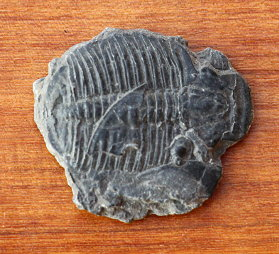 Small trilobite, 5cm (Ohio), photo by author.