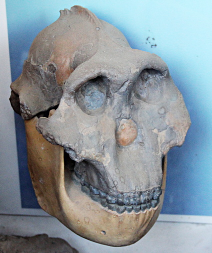 Skulls of Au. Boisei, photographed by author at Olduvai Gorge Museum, Oct 2012.