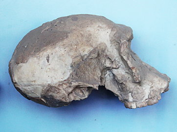 Skull of Homo habilis, photographed by author at Olduvai Gorge Museum, Oct 2012.