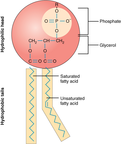Phospholipid structure, from Openstax College, via Wikimedia Commons