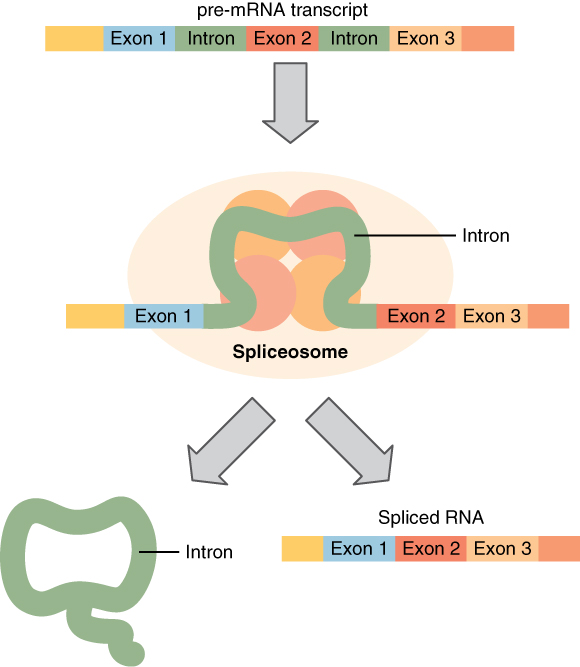 Splicing mRNA, from Openstax College