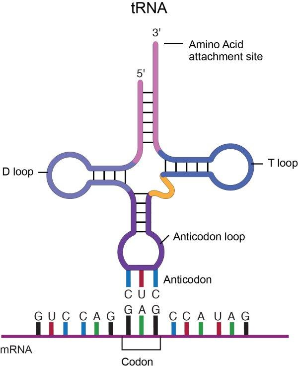 Transfer RNA, tRNA, from National Human Genome Research Institute