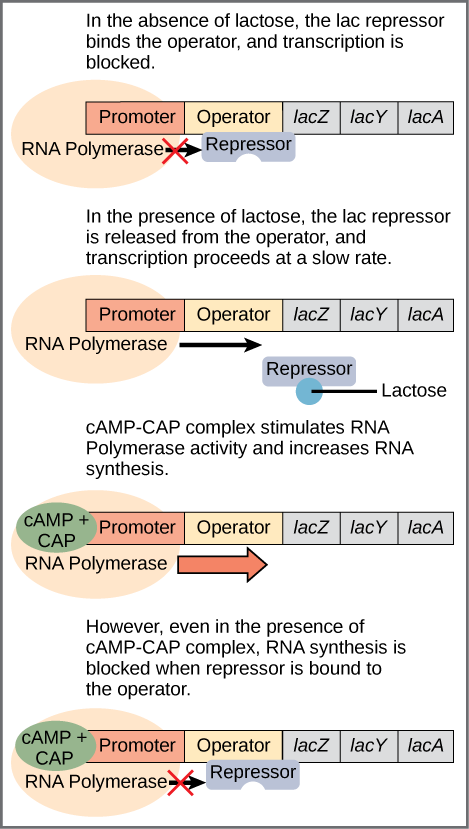 Regulation of the lac operon, from Openstax College