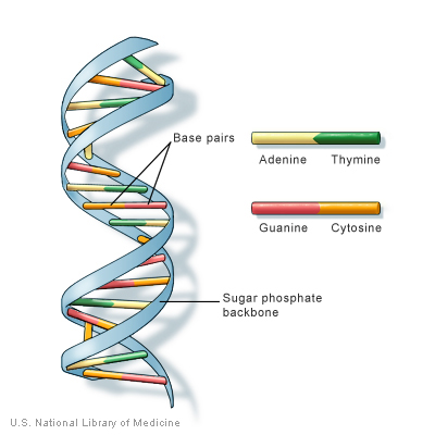 DNA structure, from U.S. National Library of Medicine