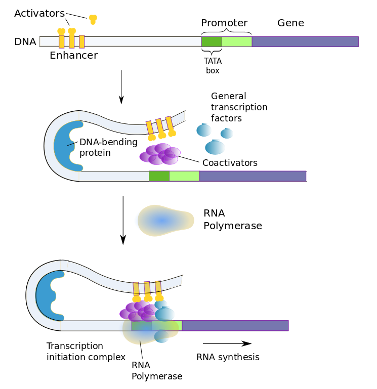 Transcription factors in eukaryotic cells
