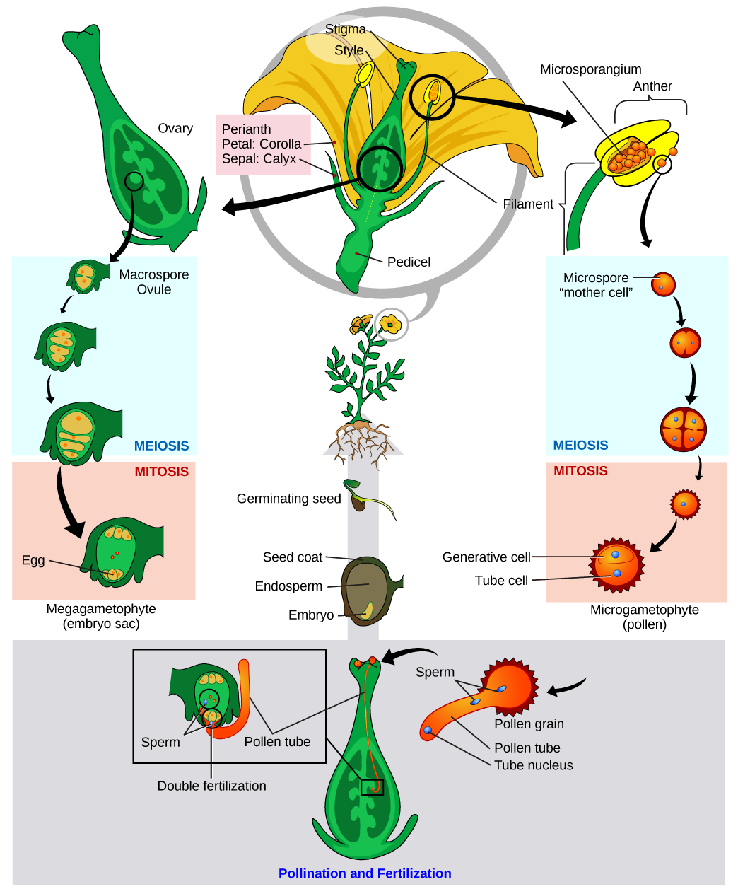 Angiosperm life cycle, by Mariana Ruiz Villareal, via Wikimedia Commons
