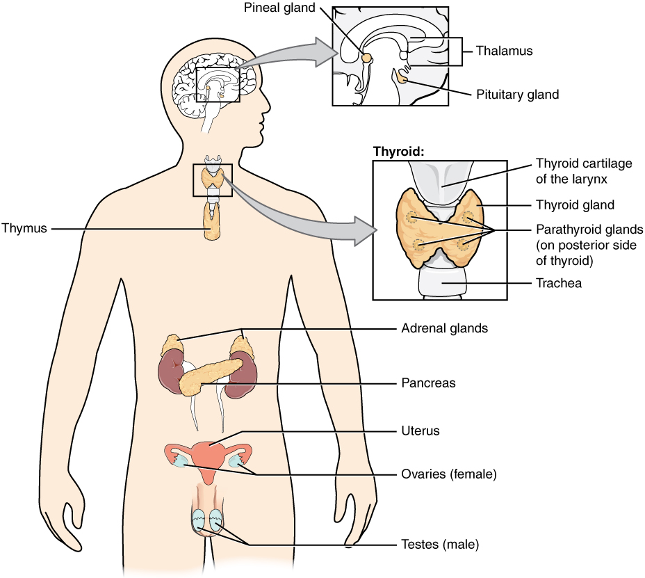 Endocrine glands and cells, from Openstax College