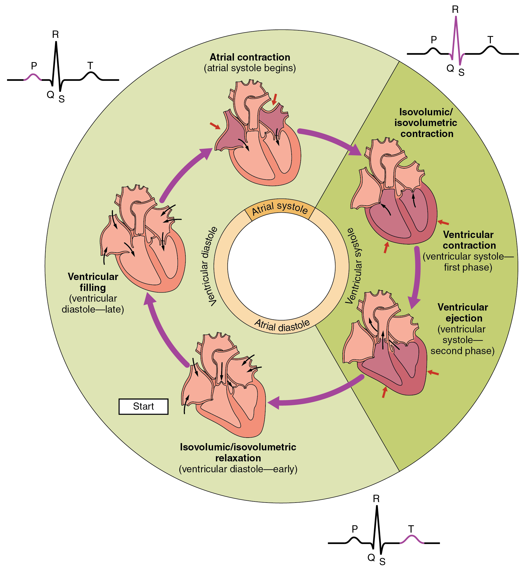 Phases of the cardiac cycle, from Openstax College