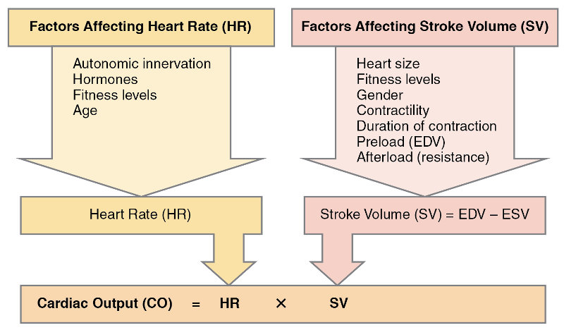 Major factors influencing cardiac output, from Openstax College