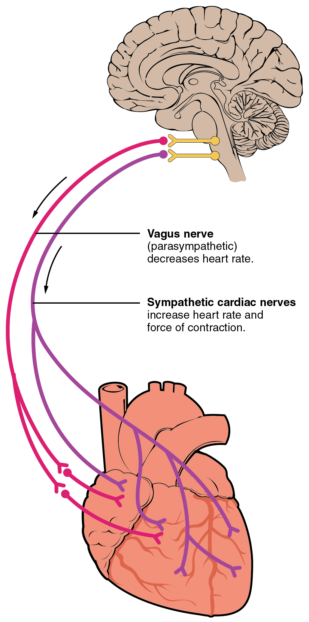 Autonomic innervation of the heart, from Openstax College