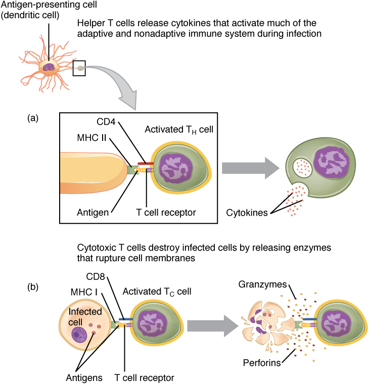 T-cell activation by APCs, from Openstax College
