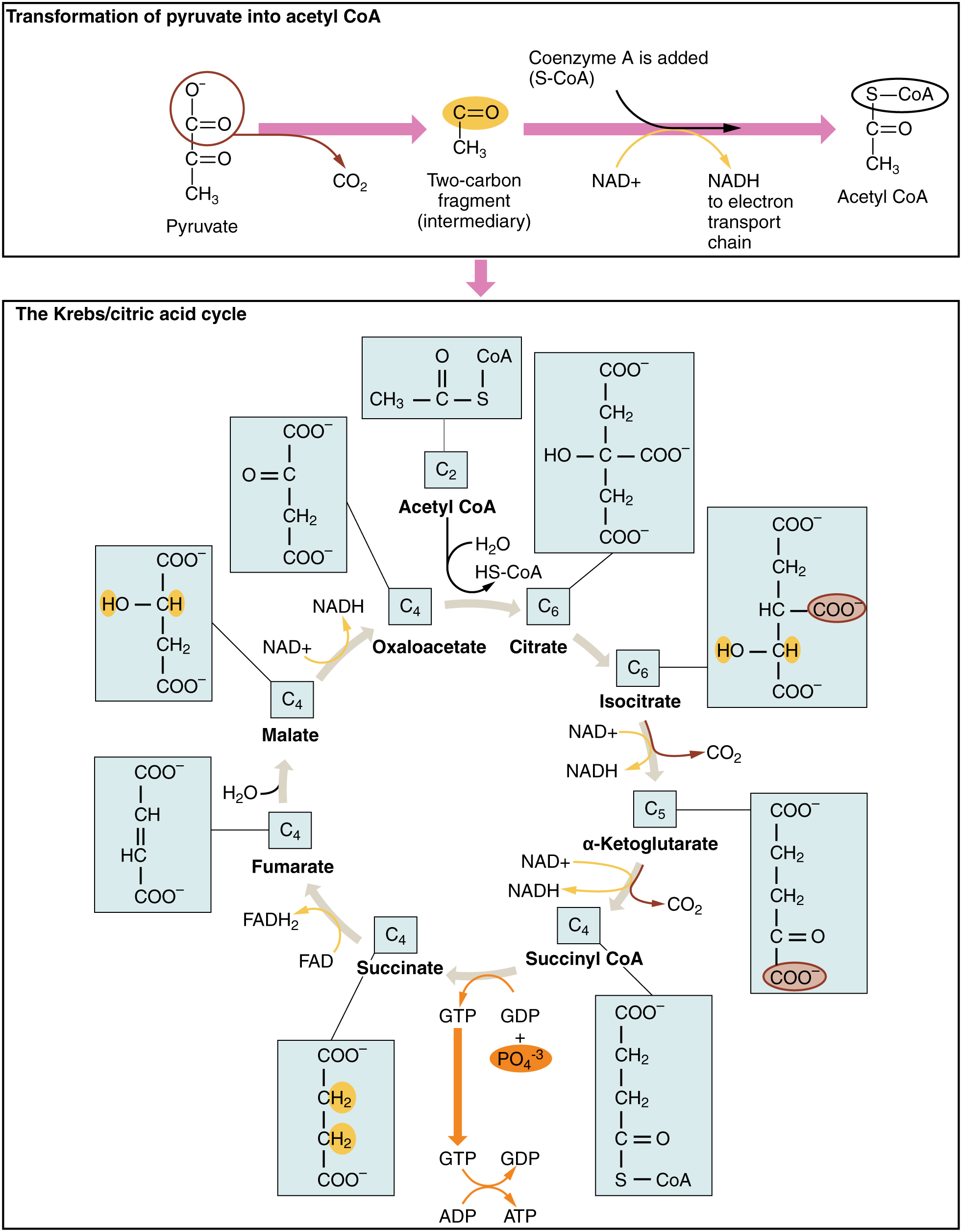 The Krebs cycle, from OPenstax College