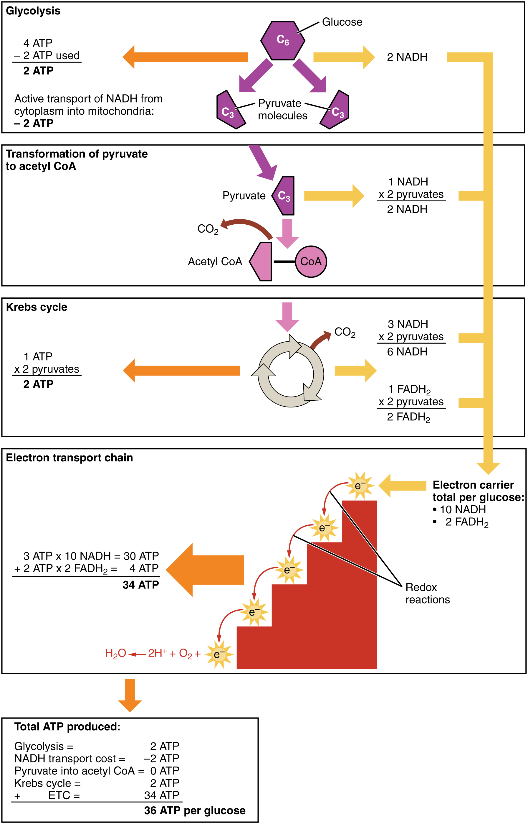 ATP production in cellular respiration, from Openstax College