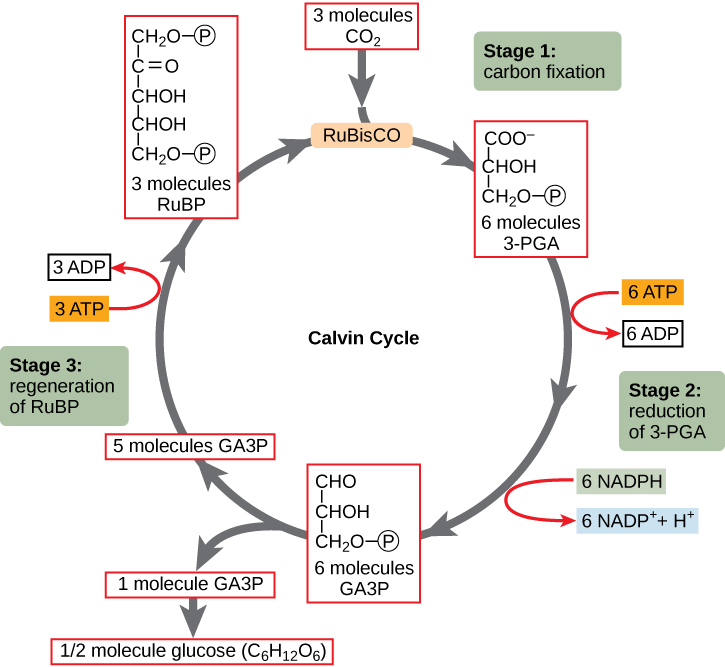 The Calvin cycle, from Openstax College