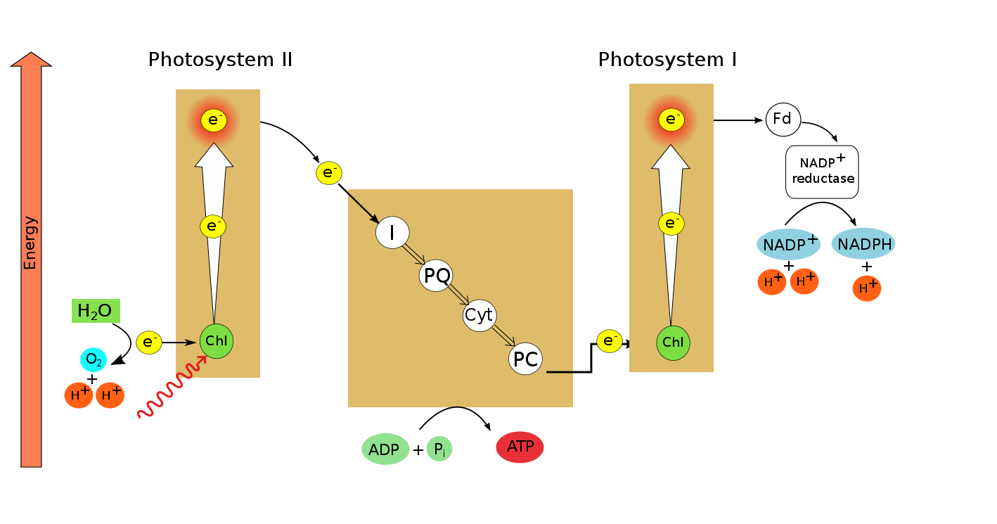 Photophosphorylation (Z-scheme), by author, after Kratz