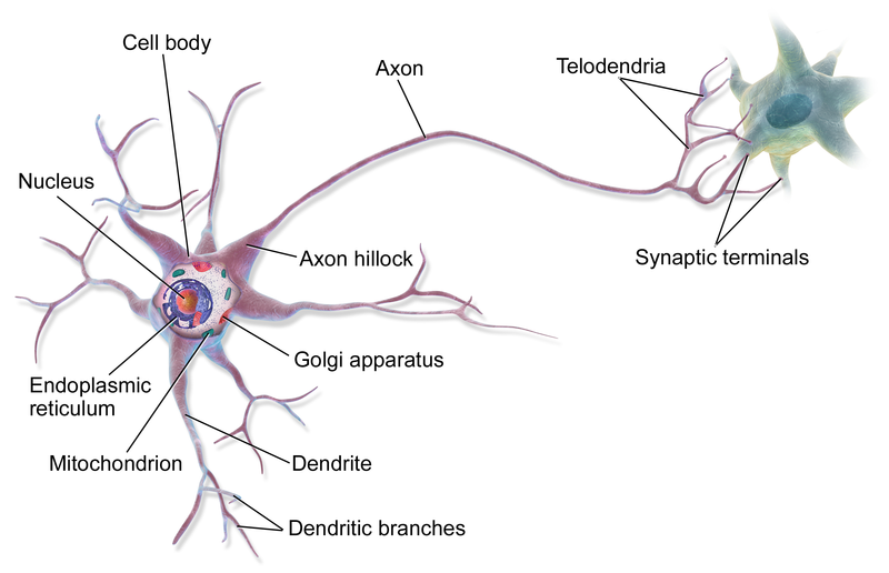 A multipolar neuron, by BruceBlaus via Wikemedia Commons