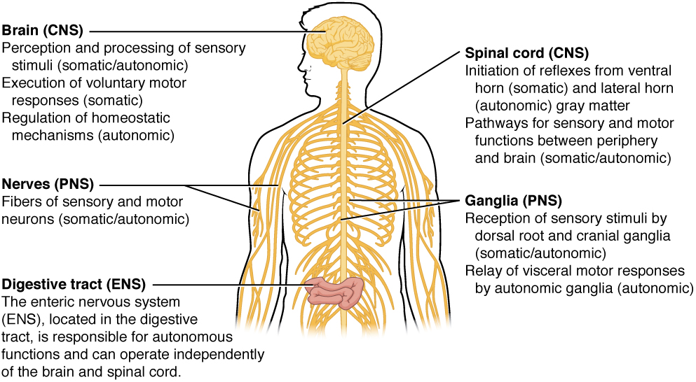 Somatic, autonomic and enteric nervous systems, from Openstax College