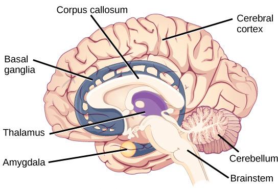 cnx-brain-sagittal_35_03_02b-c
