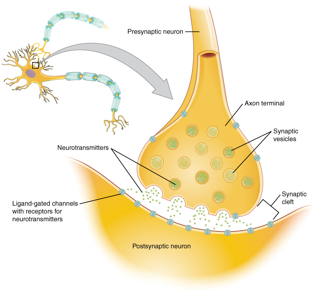 Chemical synapse between neurons, from Openstax College