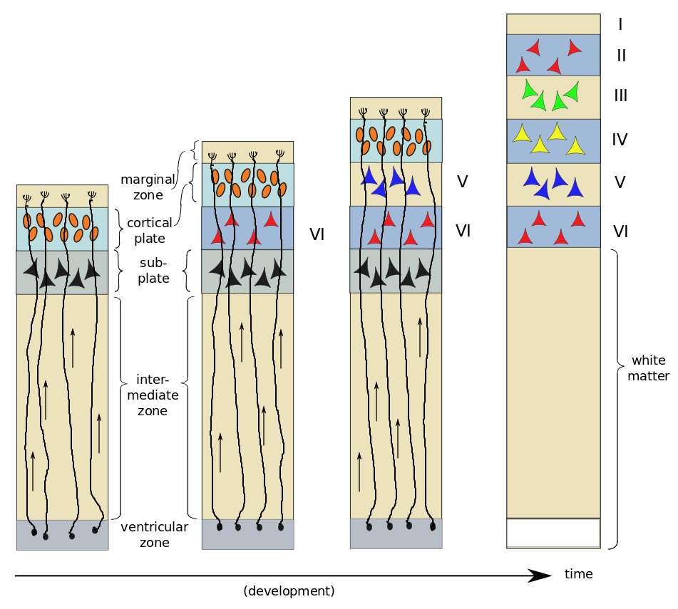 Neurogenesis and development of six layers of the striate cortex, by author, after Bear et al.